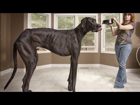 de Duitse hond Zeus uit Michigan was de grootste hond ter wereld